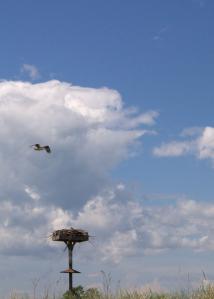 Osprey over Nest