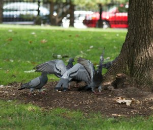Pigeons at Tree