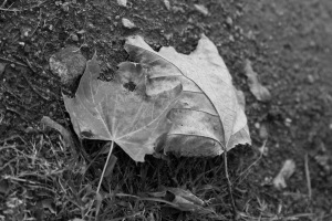 Boston_Area_Leaves_Black_White-4