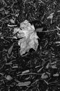 Boston_Area_Leaves_Black_White-6